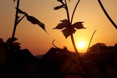 Weinbreben-im-Sonnenuntergang